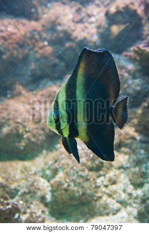 Platax Orbicularis - Orbicular Spadefish