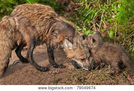 Red Fox Vixen (vulpes Vulpes) Greets Her Kit