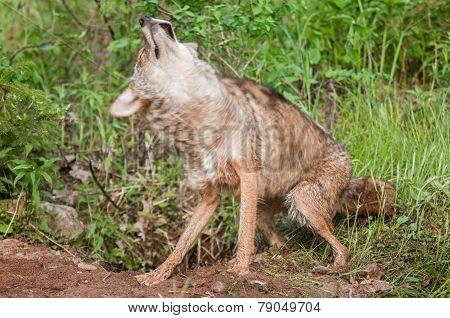 Coyote (canis Latrans) Shakes Off