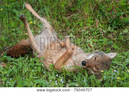 Coyote (canis Latrans) Rolls Over