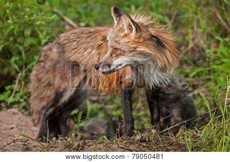 Red Fox Vixen With Kits (vulpes Vulpes) Looks Left