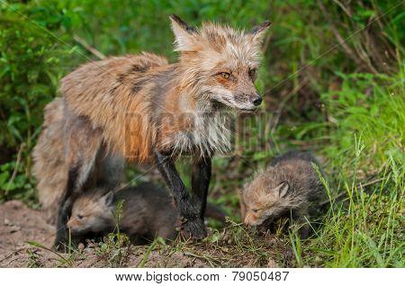 Red Fox Vixen (vulpes Vulpes) And Kits - Ears Back
