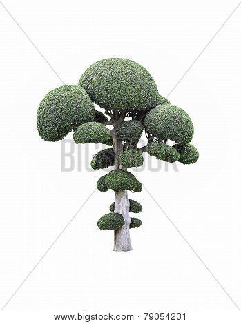 Fukien Tea Tree On White