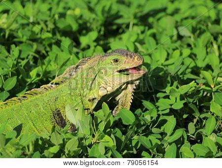 Smiling iguana in grass
