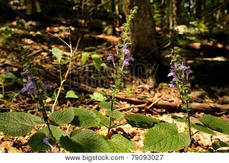 Heart-leaved Skullcap Purple Wildflower