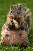 Female Eastern Fox Squirrel Eating A Peanut poster