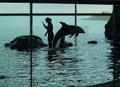 A silhouette of a dolphin jumping for the crowd at an aquarium. poster