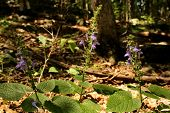 This purple/blue wildflower photographed on a rocky forest floor in the midwestern United States of America is known as Heart-leaved skullcap or Scutellaria ovata. poster