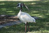 An Australian White Ibis (Threskiornis molucca) standing on a lawn on Bribie Island Queensland Australia. poster