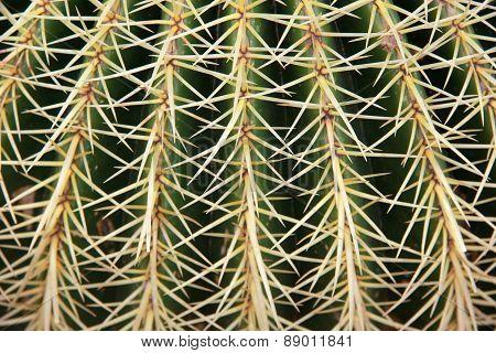 Macro of big cactus spines. Close up