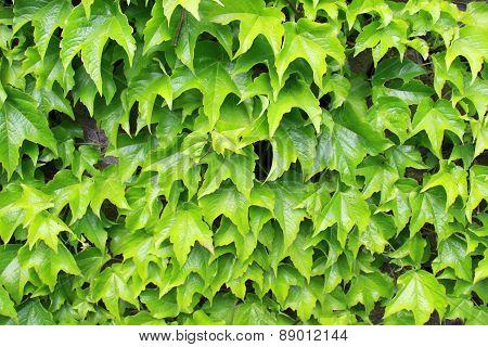 green edera wall