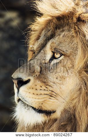 Barbary Lion Portrait (panthera Leo Leo)