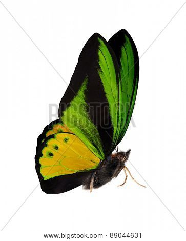 macro photo of green and yellow butterfly isolated on white background