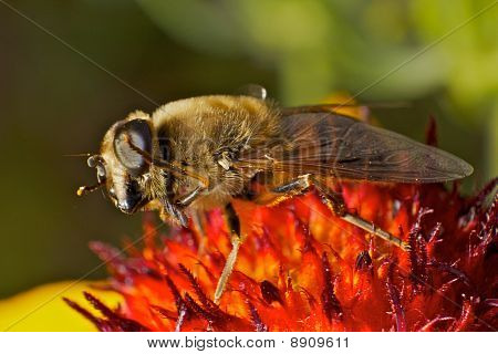 Dancing Hoverfly In Extreme Macro View