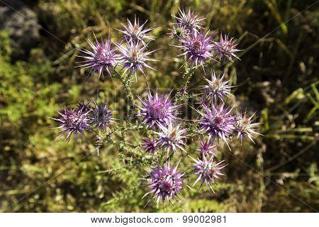 Wild Thorny Eryngo Flowers On A Field Closeup