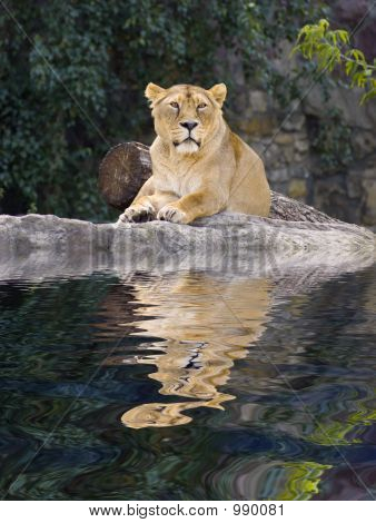 Female Lion Laying In Zoo With Reflection On Water