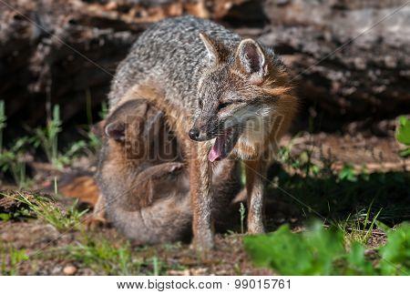 Grey Fox Vixen (urocyon Cinereoargenteus) With Nursing Kit