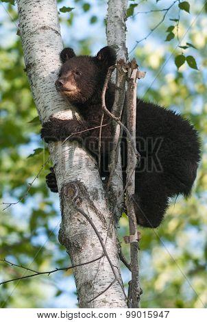 Young Black Bear (ursus Americanus) Clings To Tree