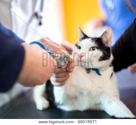 Veterinarian cut cats claws in vet ambulant