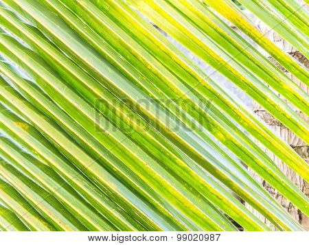 Coconut Leaf Texture Background