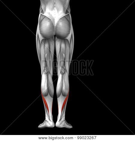 Concept or conceptual 3D gastrocnemius human lower leg anatomy or anatomical and muscle isolated on black background poster