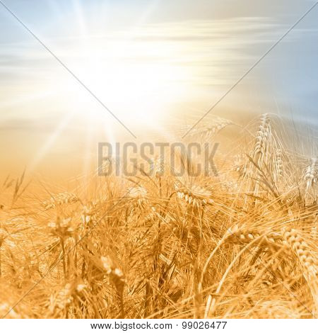 Corn field in late summer with sunlight - photo with soft oil paint filter - healthy lifestyle concept with cereals