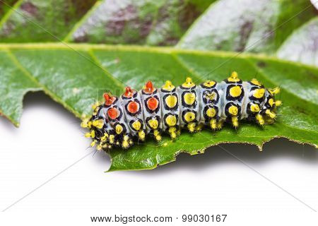 Close up of Drury's Jewel (Cyclosia papilionaris) caterpillar on its host plant leaf poster