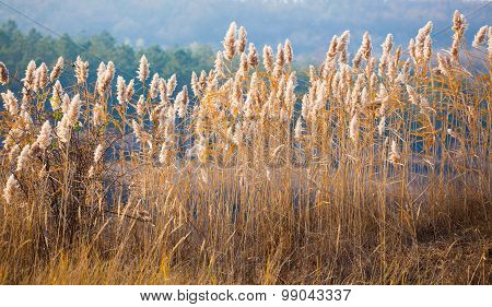 Autumn Sun Through Reed