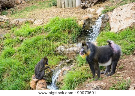 Two Mandrill Baboons