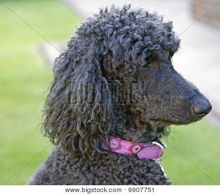 Headshot of standard poodle