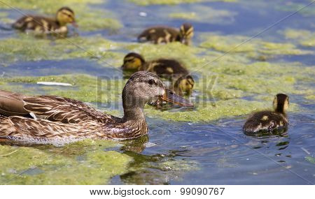 Beautiful Mallard And Her Chicks