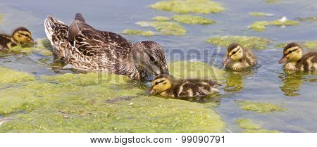 The Young Family Of Ducks