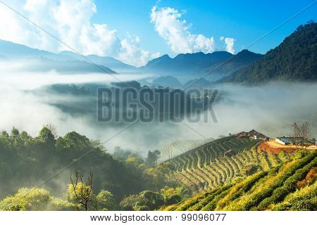 Misty morning sunrise in tea garden at Doi Ang-khang mountain, chiangmai : thailand