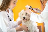 Ear examination of cute Maltese dog by veterinarians in vet clinic poster