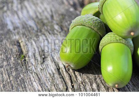 Oak acorns and leaves