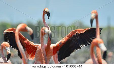 Caribbean Flamingos ( Phoenicopterus Ruber Ruber )
