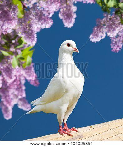 One White Pigeon