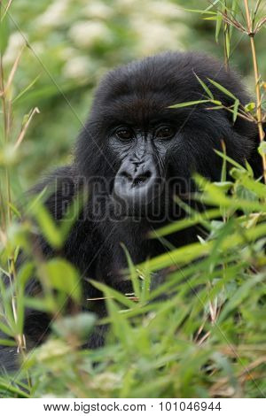 Gorilla Looks Straight At Camera Through Leaves