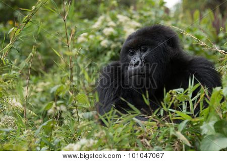 Gorilla Looks Downhill From Top Of Bush