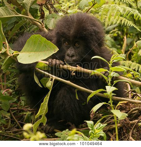 Baby Gorilla Looks Up From Chewing Branch