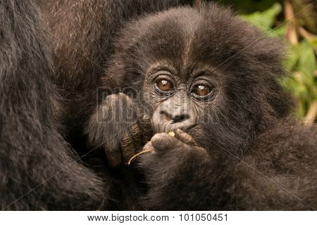 Baby Gorilla Held By Mother Chews Branch