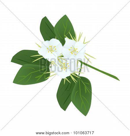 Snowy Orchid Flowers or Bauhinia Acuminata Flowers