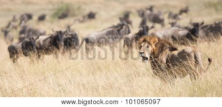 Lion Watches As Wildebeest Pass Behind Him