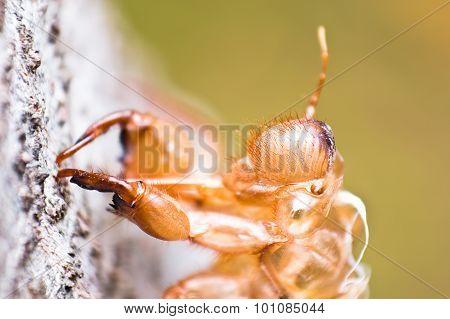 Slough Of Cicada is still stick on tree