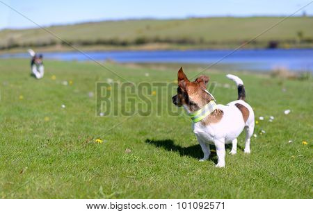 Jack Russell Terriers Standing On Grass Watching
