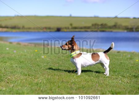 Jack Russell Terrier Standing On Grass Watching