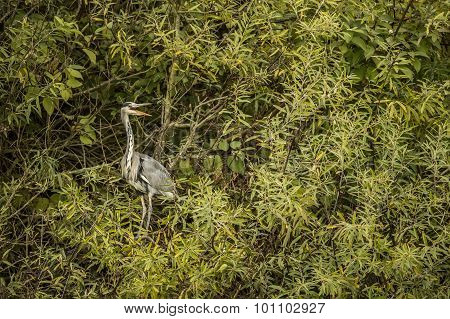 Grey Heron ardea cinerea sitting in a tree squawking