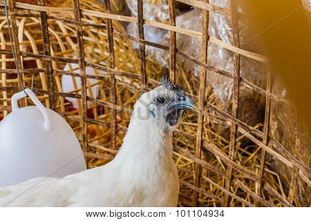 White Chickens In A Chicken Coop