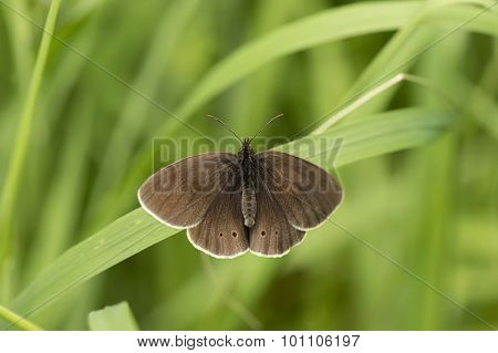 Ringlet butterfly sitting on a blade of grass