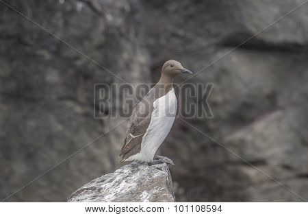 Common Guillemot Uria aalge standing on a rock